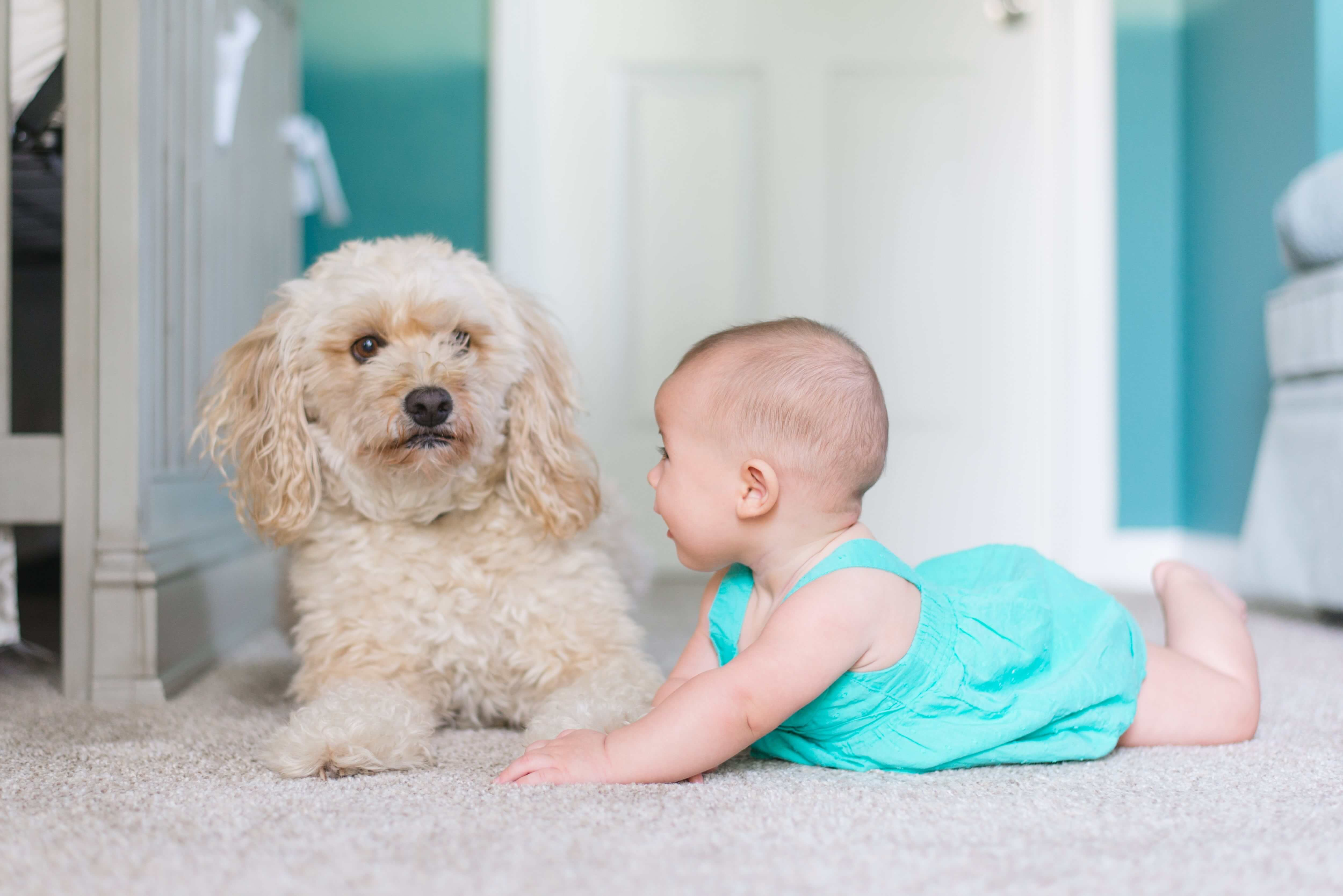 A happy baby playing with her dog on a freshly cleaned carpet in Yelm, WA